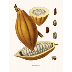 AFFICHE THEOBROMA CACAO 24X30